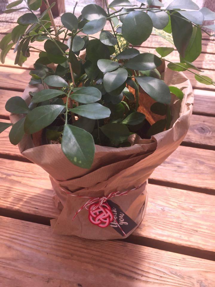 観葉植物へ梅結び